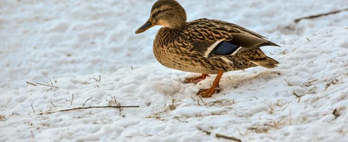 В Москве 19-20 января подсчитают зимующих водоплавающих птиц. Фото: архив